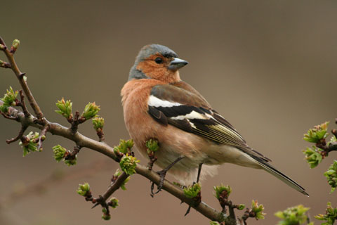 Featured Photo: chaffinch